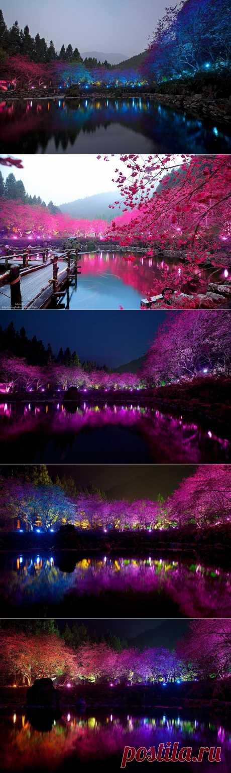 » Разноцветная сакура Это интересно!