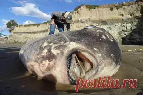 Такую огромную рыбу не ловили за всю историю человечества - новости США