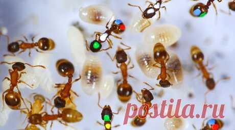 """Ленивые муравьи делают себя полезными неожиданными способами Если первое, что приходит на ум, когда вы думаете о муравьях, - это """"трудолюбивый"""", вас может ждать сюрприз. В 2015 году биологи из Университета Аризоны сообщили, что значительная часть """"рабочих"""", которые составляют колонию муравьев, потратили подавляющее большинство своего дня, занимаясь одной задачей: абсолютно ничего не делая."""