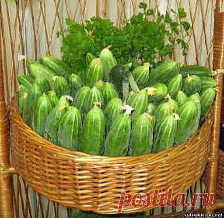 Огурцы:новый способ выращивания.