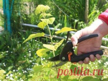 🔶Как размножить гортензию черенками – пошаговая инструкция для новичков Черенкование – самый простой способ размножения гортензии любого вида. Одревесневшие черенки укореняются плохо, поэтому лучше использовать однолетние зеленые побеги. В статье мы подробно расскажем, как вырастить эффектную гортензию из черенка. Размножать гортензию черенками можно и весной, и летом. Но наиболее подходящее время для этого дела – середина лета (незадолго до начала цветения). Поэтому рекомендуется срезать с к