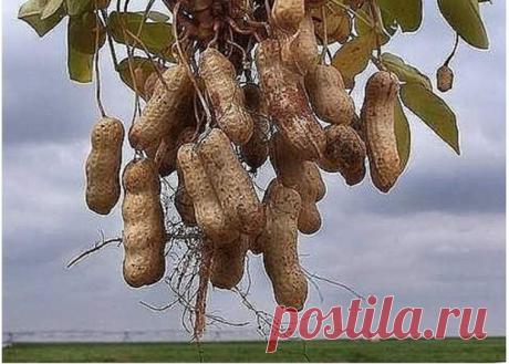 Как вырастить земляной орех-арахис