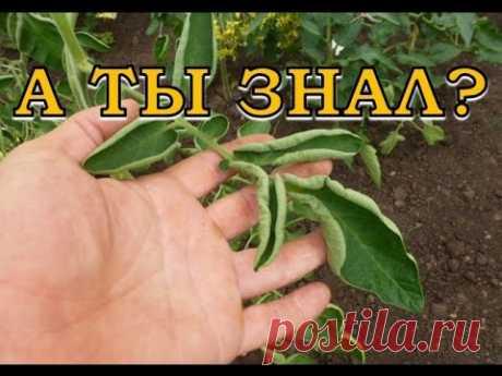 Почему скручиваются листья томатов? - YouTube