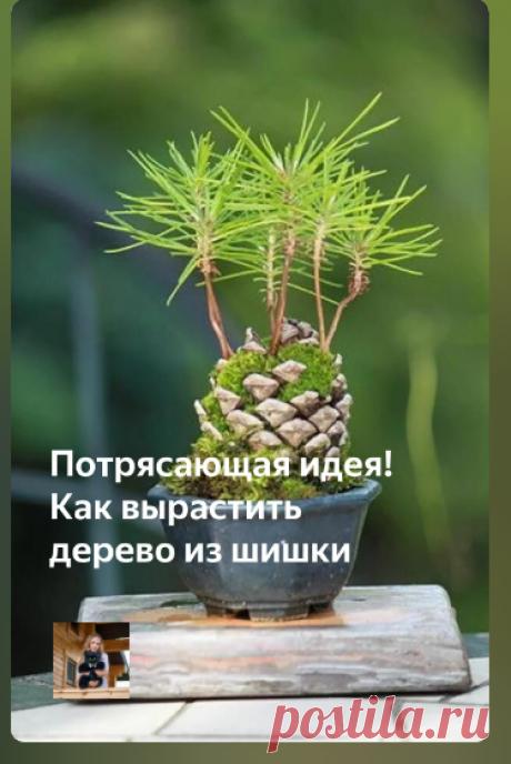 Проращивание дерева из шишки