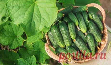 Как получить максимальный урожай огурцов | О Фазенде. Загородная жизнь | Яндекс Дзен