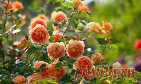 Все вредители и болезни розы и как с ними бороться » Женский Мир
