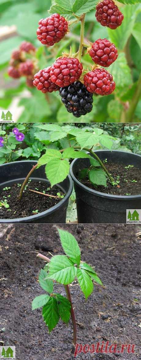 Reproduction of blackberry | Country life - a garden, a kitchen garden, giving