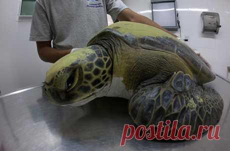 Большая зеленая черепаха запуталась в сетях аргентинского рыбака Роберто Убиета. Мужчине показалось ее поведение странным, позднее ветеринары объяснили причину