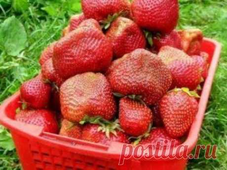Сорт клубники Чамора Туруси, описание, агротехника, свойства