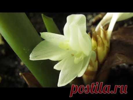 Калатея орбифолия цветет и даже... пахнет!))