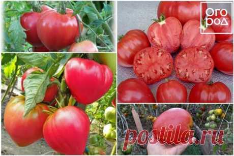 11 лучших сортов томатов для теплицы и открытого грунта – рейтинг от наших читателей | Томаты (Огород.ru)