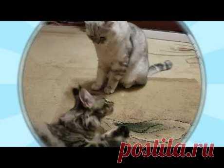 """""""Бои без правил"""" - именно так называется видео, в котором вы увидите котенка породы мейн-кун по кличке Максимус и шотландского котейку Симбо."""