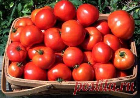 Секреты невероятно высоких урожаев помидоров