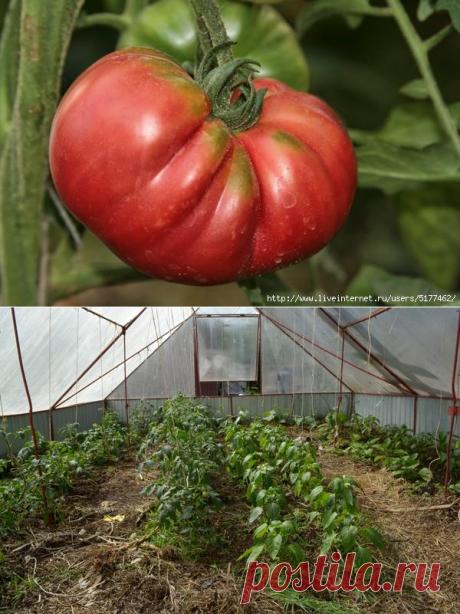 Como criar los tomates sabrosos y salubres, creando el suelo vivo en el invernadero