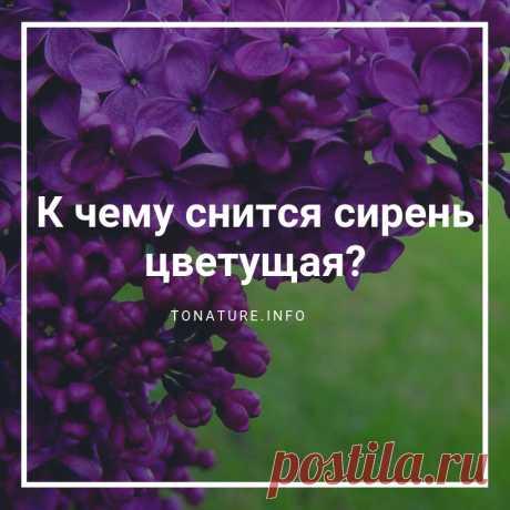 К ЧЕМУ СНИТСЯ СИРЕНЬ ЦВЕТУЩАЯ?  #toNatureInfo #КомнатныеРастения #Растения #Сирень #Сновидения #Сны #Цветы #ПрисниласьСирень