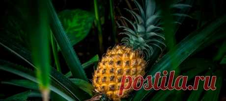 Как вырастить ананас из верхушки пошагово в домашних условиях Вырастить ананас в домашних условиях – дело техники. Причем не нужно покупать саженцы, в квартире сделать это можно из верхней лиственной части фрукта.
