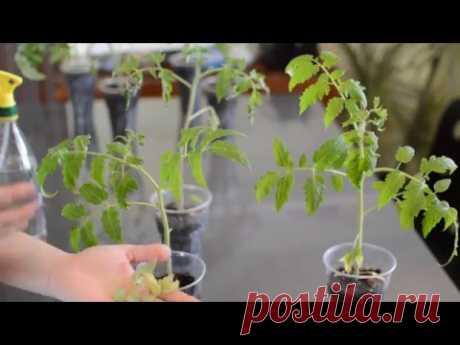 ¡Las plantas de los tomates, los pimientos o las berenjenas crecen mal, las hojas se secan y se arrollan, significa a las plantas ha atacado el saboteador-pautinnyy la garrapata!