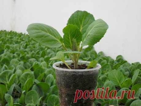 """How to grow up seedling of cabbage in house conditions Vegetable with character, in the people called by \""""the garden mistress\"""", tasty, useful, fruitful – cabbage. It – one of the first in a healthy diet, in traditional medicine, in cosmetology. To grow up a good mouthpiece..."""