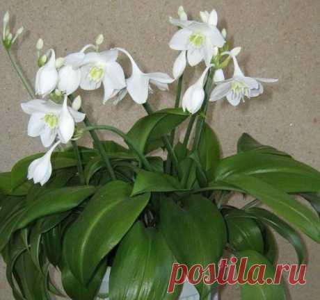 Эухарис (Амазонская лилия) – одно из самых популярных декоративных растений в мире | 6 соток
