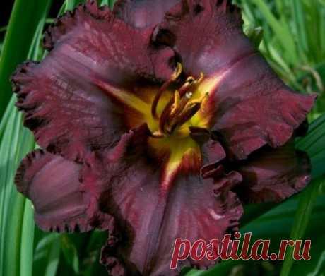 11 самых красивых черных цветов, или Немного мистики в саду. Виды, сорта, использование в дизайне. Фото — Ботаничка.ru