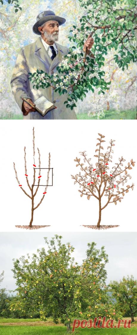 4 «нельзя» в обрезке яблонь и другие советы от Мичурина   посуДАЧИм об огороде   Яндекс Дзен