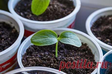 6 ошибок при выращивании огурцов рассадой | 6 соток