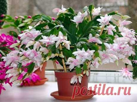 Цветок декабрист - как заставить цвести? Почему не цветет декабрист, правильный уход за рождественником
