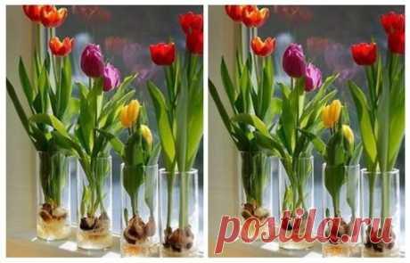 ВЫРАСТИМ КЛУМБУ ДОМА? Букет тюльпанов можно вырастить зимой без всякой оранжереи и к нужному вам сроку. Возьмите обычный цветочный горшок, наполните его любой землёй - тип грунта не важен. В этот грунт тюльпановые луковицы посадите не просто одна к другой впритык, а даже в 2 яруса, плотно - плотно прижимая луковицу к луковице. В небольшой горшочек помещается порядка 20 луковиц. Теперь их надо полить, горшок поместить в целлофановый пакет и поставить в холодильник. Пускай с...