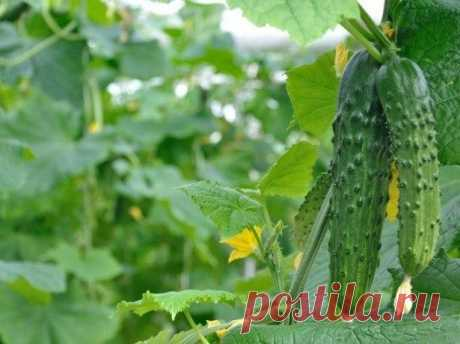 Много лет пользуюсь этими советами, каждый год с отличным урожаем огурцов!