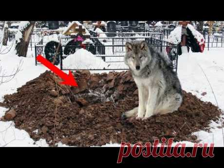 Старый волк на глаза у всех стал откапывать свежую могилу! Это спасло 3 жизни!