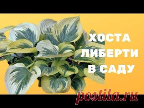 Хоста либерти в саду - YouTube