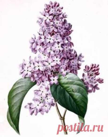 Цветочная литография...ботанические иллюстрации | Pierre-Joseph Redoute