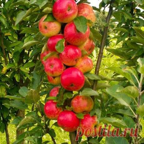Колоновидная яблоня – описание сортов и отзывы