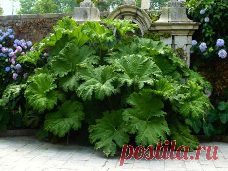 Растение-гигант, которое украсит любую клумбу в тени, удивит всех Ваших соседей, и вытеснит напрочь все сорняки | Рукоделкино | Яндекс Дзен