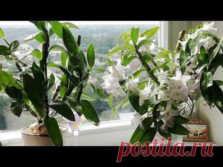 Дендробиум нобиле - пышное цветение! Дендробиум нобиле уход в домашних условиях. Мой опыт!