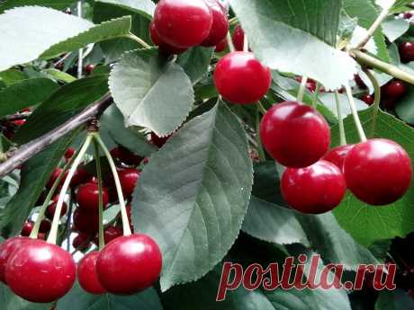 Листья этих ягод снимают воспаления, устраняют бессонницу и симптомы менопаузы, а также защищают от гепатита! Сегодня хочу поделиться с вами интересным рецептом для вашего здоровья. Это чай с ягодами, который очень полезен как для детей, так и для взрослых. Ягоды улучшают память и укрепляют иммунитет. Очень важно пить такой чай зимой, потому что в нём много витамина С! Кроме того, он обладает противовоспалительными и антибактериальными свойствами, благодаря присутствию в нём флавоноидов. Рецеп…