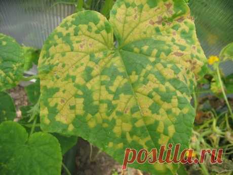 Как бороться с пожелтением листьев у огурцов (советы дачников)