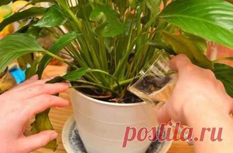 СЕМЬ ПРИЕМОВ, ЧТОБЫ КОМНАТНЫЕ ЦВЕТЫ РОСЛИ КАК НА ДРОЖЖАХ Сохраните, чтобы не потерять! При выборе комнатного растения мы всегда обращаем внимание на внешний вид листьев и цветов,форму. Но каждое растение имеет свою индивидуальную энергетику, влияя на состояние человека. Красивое комнатное растение — это, прежде всего правильный уход и условия содержания. Даже небольшие погрешности в уходе могут привести к появлению коричневых сухих пятен или высыханию кончиков или краев ли...