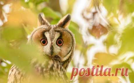 Молодая ушастая сова, запечатлённая у села Аксиньино (Подмосковье) Ксенией Соварцевой: nat-geo.ru/community/user/52576