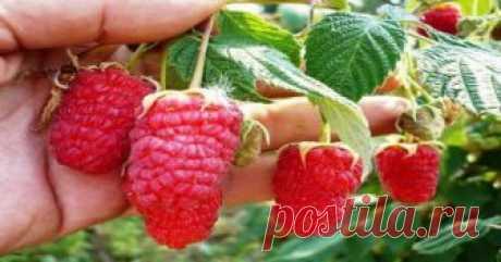 Революция на садовых участках: супер-урожайная обрезка малины по Соболеву!
