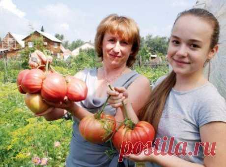 Секретная подкормка для помидоров заставит их покраснеть за 7 дней |
