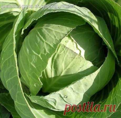 Удобряем и подкармливаем капусту