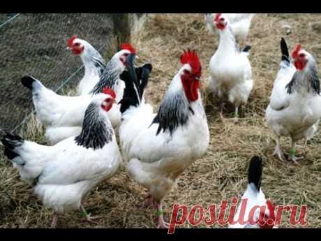 Самые выгодные куры в птичьем хозяйстве!