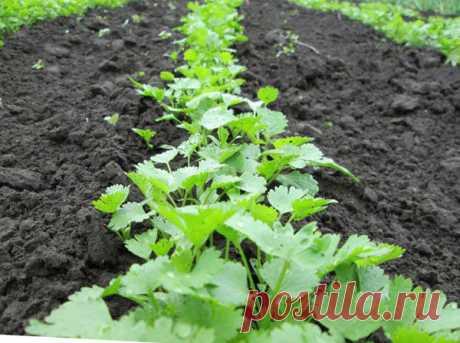 Основные правила выращивания большого урожая петрушки | Vusadebke.com | Яндекс Дзен