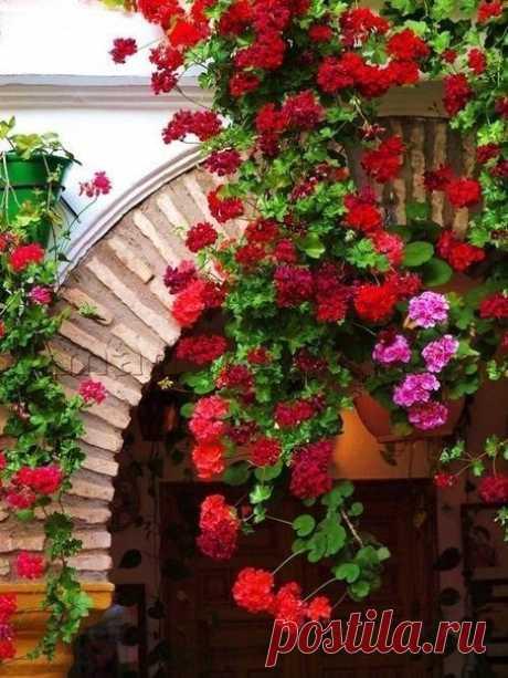 Чтобы герань всегда радовала цветением, нужна 1 капля йода...