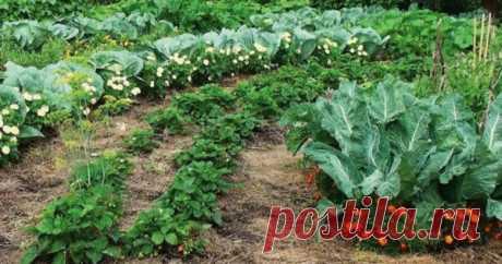 Какие растения нельзя выращивать на одной грядке Каждый даже начинающий садовод должен иметь представление, что такое совместимость растений и какие овощи или зелень нельзя выращивать на одной грядке. Не стоит сажать вместе клубнику, чеснок, капусту, а по углам ещё и петрушку. Каждой культуре нужны свои условия для роста. Золотое правило...