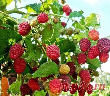 ✔️Ценные приемы, делающие малину крупнее. Урожая созревает заметно больше   Огород и сад. Полезные советы   Яндекс Дзен