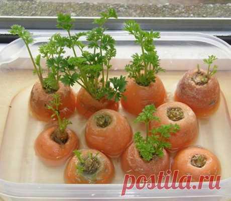 Зелень, которую можно выращивать на подоконнике из обрезков