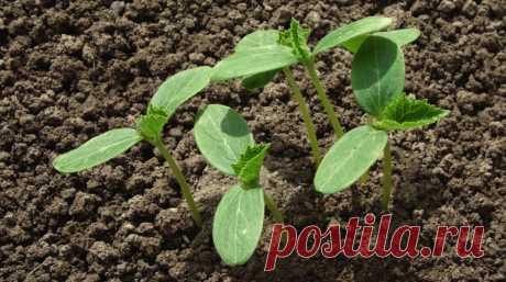 Los secretos de la siembra de julio de los pepinos   En gryadke (Огород.ru)