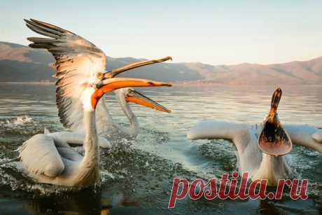 «Песню запе-е-вай!» Кудрявые пеликаны на озере Керкини, Греция. Автор фото – Evgeni Fabisuk: nat-geo.ru/photo/user/303171/
